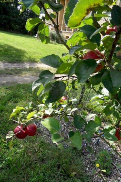 """Äpfel am Apfelbaum im Beet """"Sanddorn"""" 37. KW 2015"""