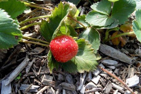 Erdbeere 37. KW 2015