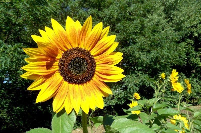 Sonnenblumen September 2015 Diashow 8