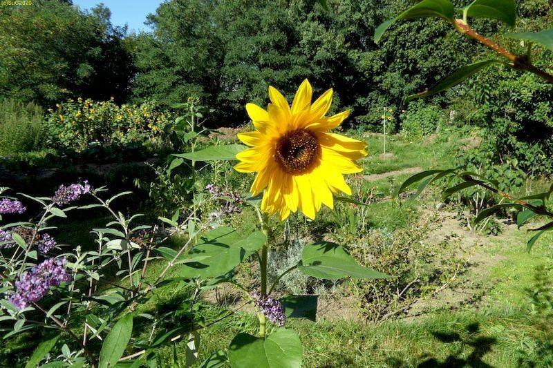 Sonnenblumen September 2015 Diashow 4