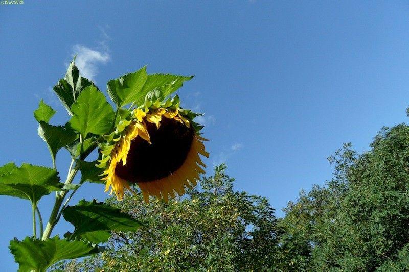 Sonnenblumen September 2015 Diashow 3