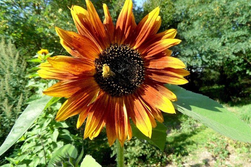 Sonnenblumen September 2015 Diashow 2