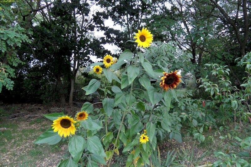 """""""Bunte"""" Sonnenblumen im Beet """"Jostabeere"""" 24.9.20"""
