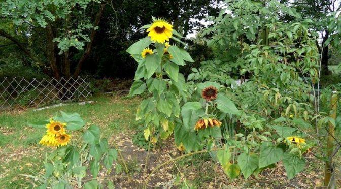 Bunte Sonnenblumen 27.9.20