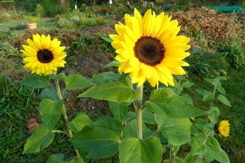 Sonnenblumen 6.10.14
