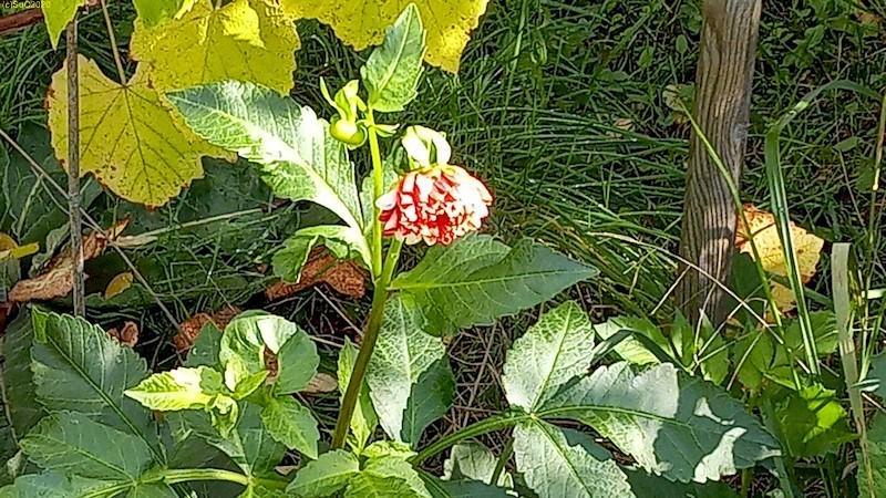 """Rot-weiße Dahlienblüte Beet """"Wein"""" 42. Kalenderwoche 2020"""