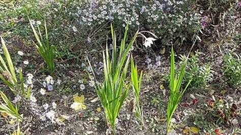 """Abessinische Gladiolen und Herbstastern Beet """"Mangold"""" Oktober 2020"""