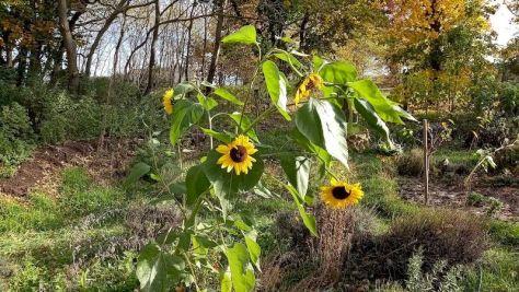 """Sonnenblumen Beet """"Sternmagnolie"""" Oktober 2020"""