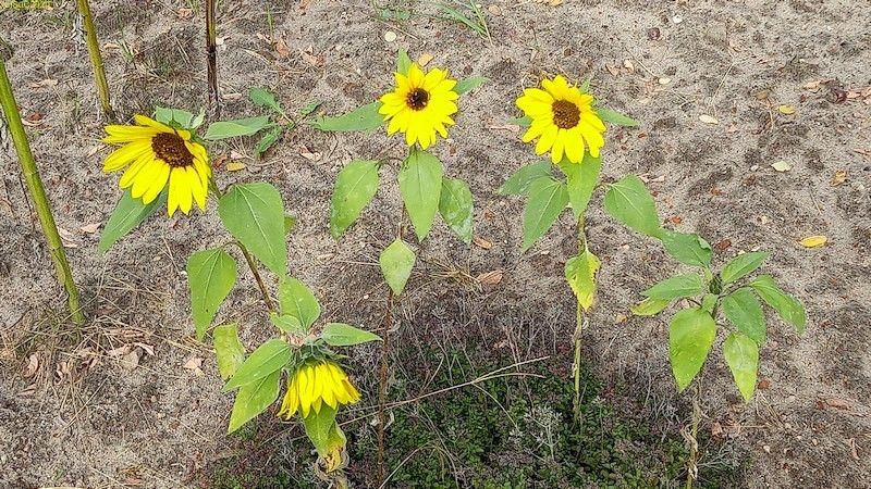"""Kleine Sonnenblumen im Oregano Beet """"Meerrettich"""" 3.10.20"""