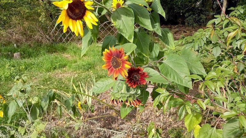 """Die """"bunten"""" Sonnenblumen im Beet """"Jostabeere"""" 3.10.20"""