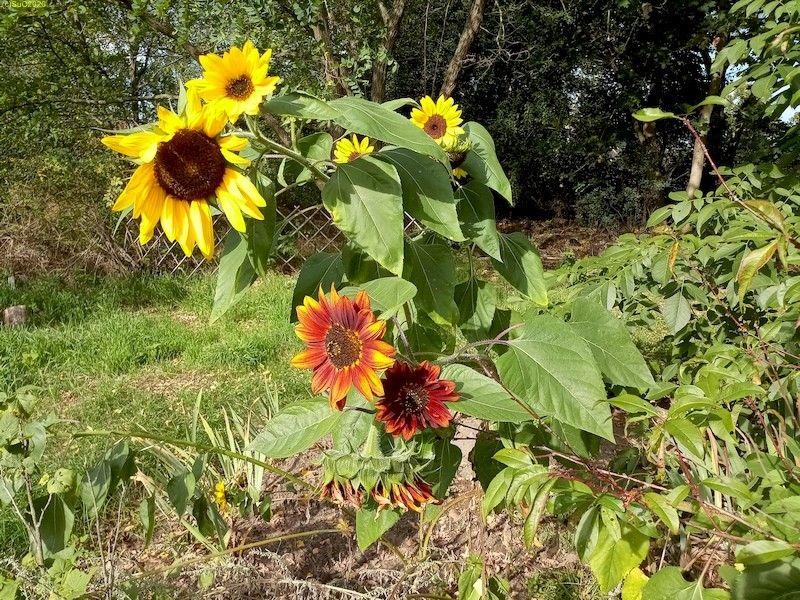 """Bunte"" Sonnenblumen Beet ""Jostabeere"" 3.10.20"