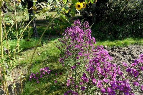 Herbstblüten Sonnenblumen und Raue Herbstastern 29.9.2017