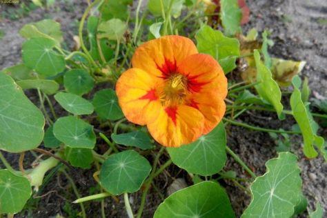 Orangene Kapuzinerkresseblüte 44. Kalenderwoche 2014