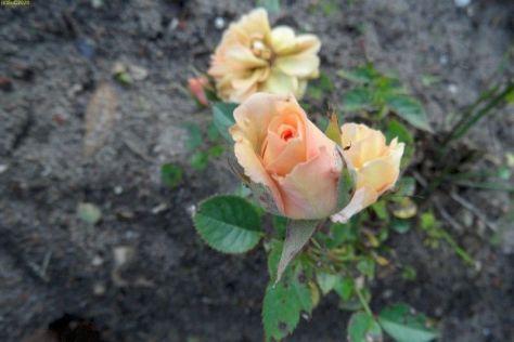 Weiter Rosenblüte 44. Kalenderwoche 2014