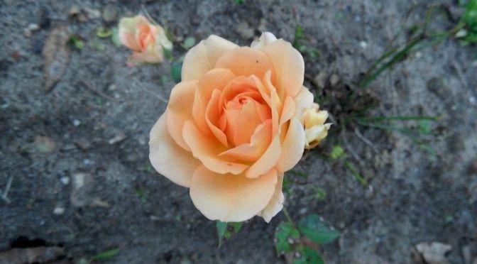 Eine Rose blüht im November 2014