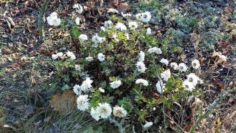 "Weiße Chrysanthemen Beet ""Omega"" 49. Kalenderwoche 2020"