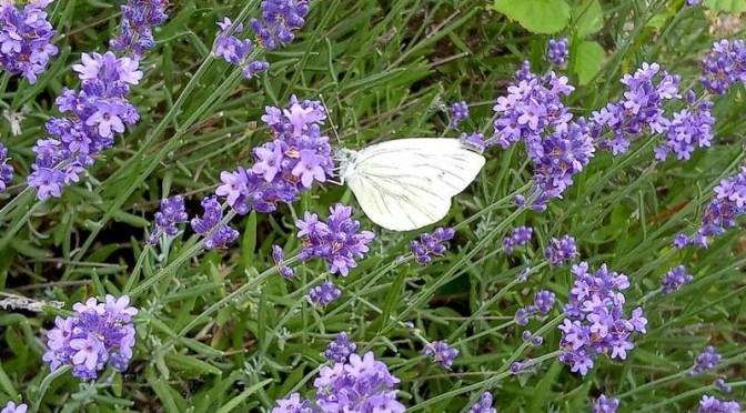 Rose, Lavendel, Schmetterlinge