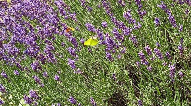 Zitronenfalter am Lavendel 4.7.21