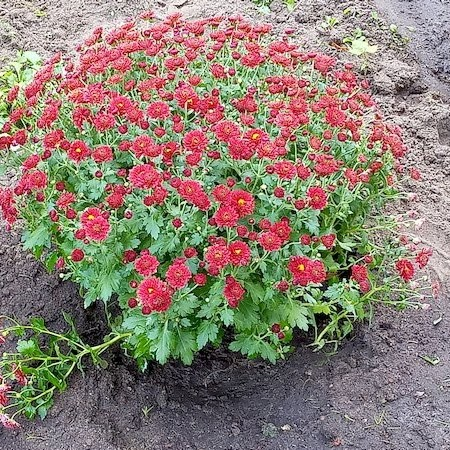 "Chrysanthemenbusch Beet ""Omega"" 13.9.21"