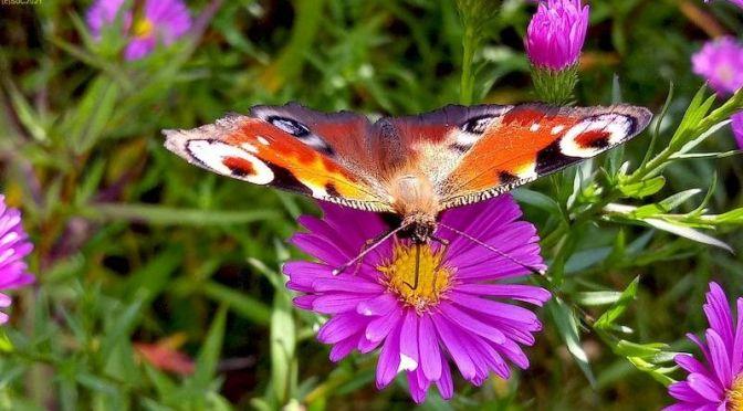 Viele Schmetterlinge Ende September