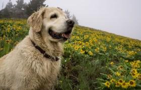 POW: Tucker in the Sunflowers