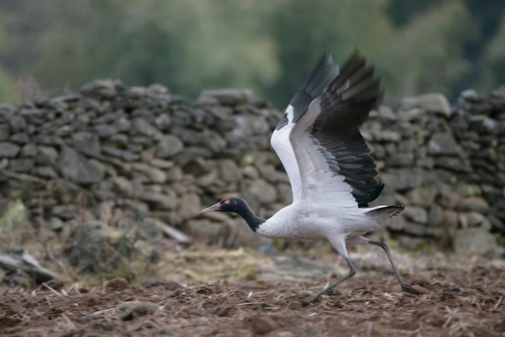 Blackneck Crane Landing
