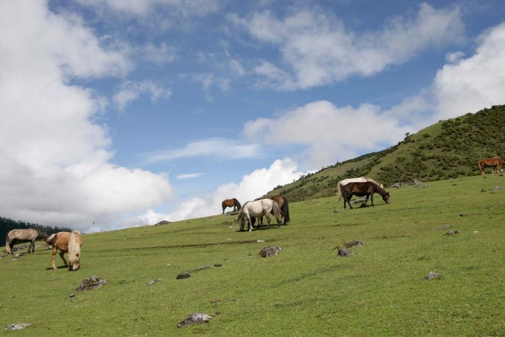 Horses grazing on highlands in Bhutan