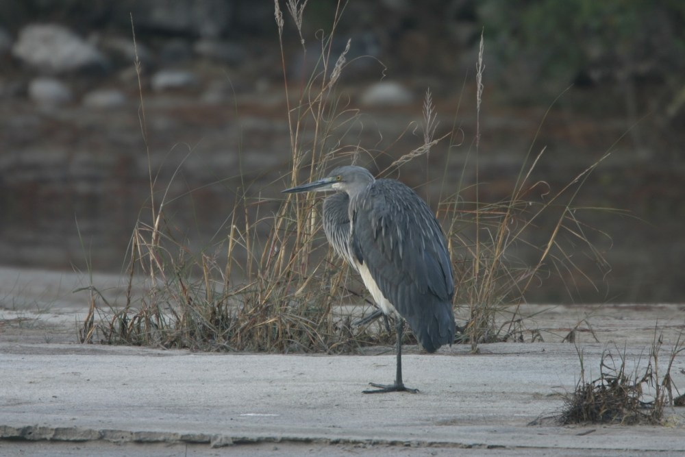 White-bellied Heron (Ardea insignis)