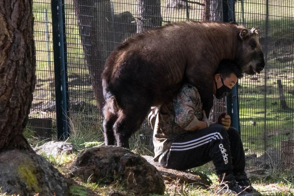 Takin Hugging Zoo Staff