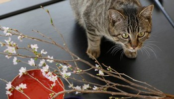 Japanese Cat Names Stunning Names For Cats 200 Ideas
