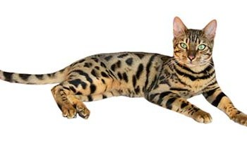 Best black cat names the ultimate list 109 ideas the best bengal cat names 55 great bengal name ideas urtaz Gallery