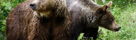 Jornadas sobre el oso pardo cantábrico