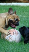 Chambord French Bulldogs.jpg