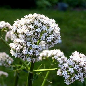 Valerian Remedy For Pain