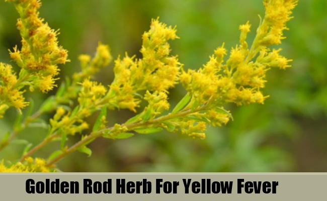 Golden Rod Herb