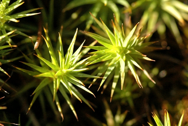 Polytrichum Juniperum