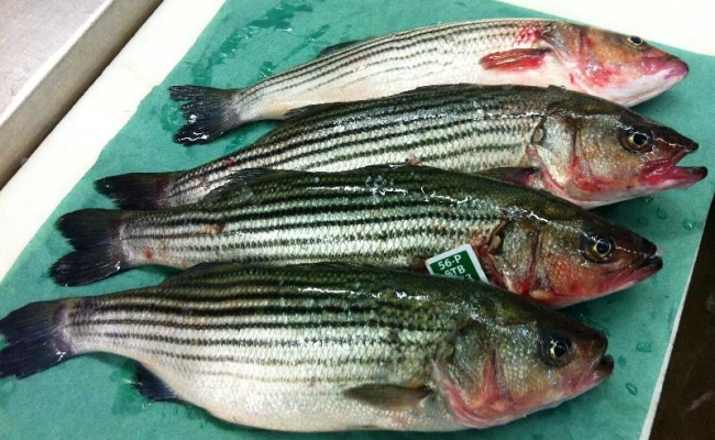 Farmed Stripped Bass