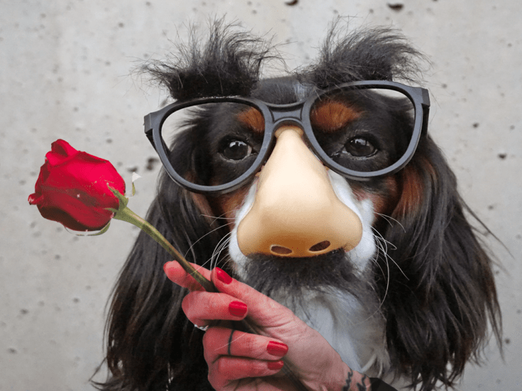 cavalier king charles dog wearing disguise of glasses with fake nose and mustache with a hand holding a rose