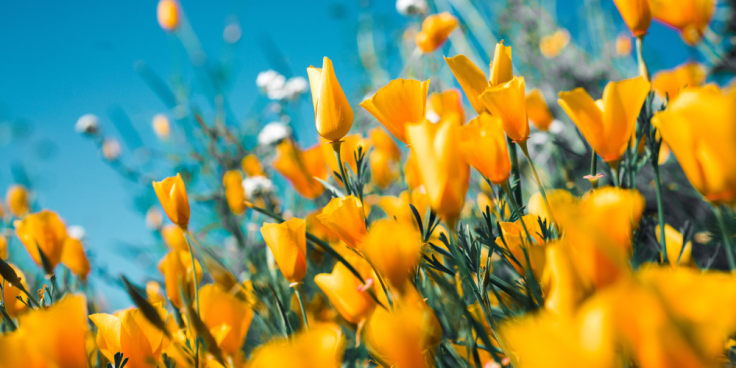 An image of flourishing field of yellow tulips set against a bright blue sky to represent what it looks like to thrive for the blogger.