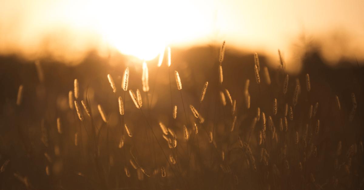 Glowing Kansas field at sunset