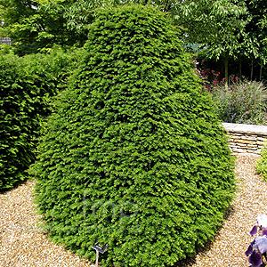 شجرة الزرنب Taxus beccata