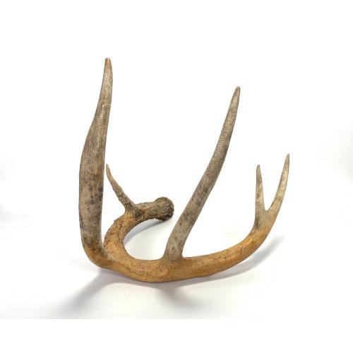 Deer Antler Whitetail 5 Point