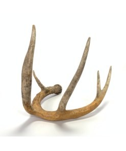 Deer Antler Whitetail 5 Point
