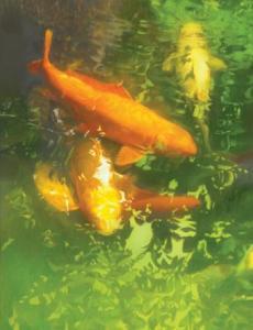 koi carp japanese fish