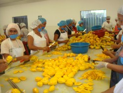 Image of workers slicing and preparing fresh mango for drying