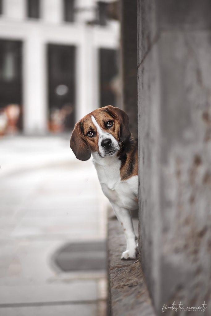 Rasse Beagle in der Stadt