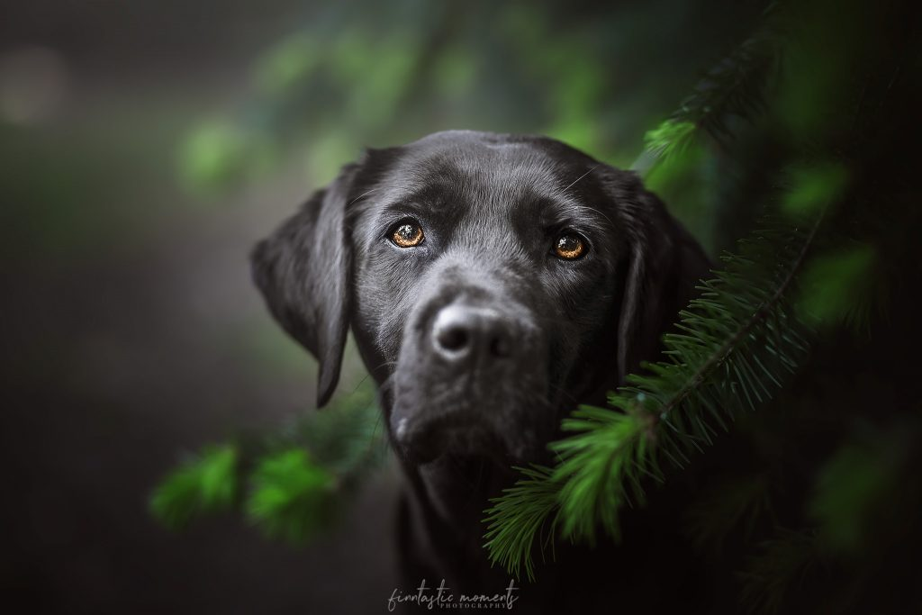 Portrait von schwarzen Labrador in einer Tanne