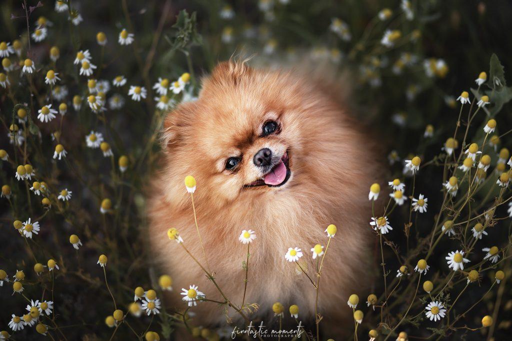 Rasse Pomeranian in Blumenfeld