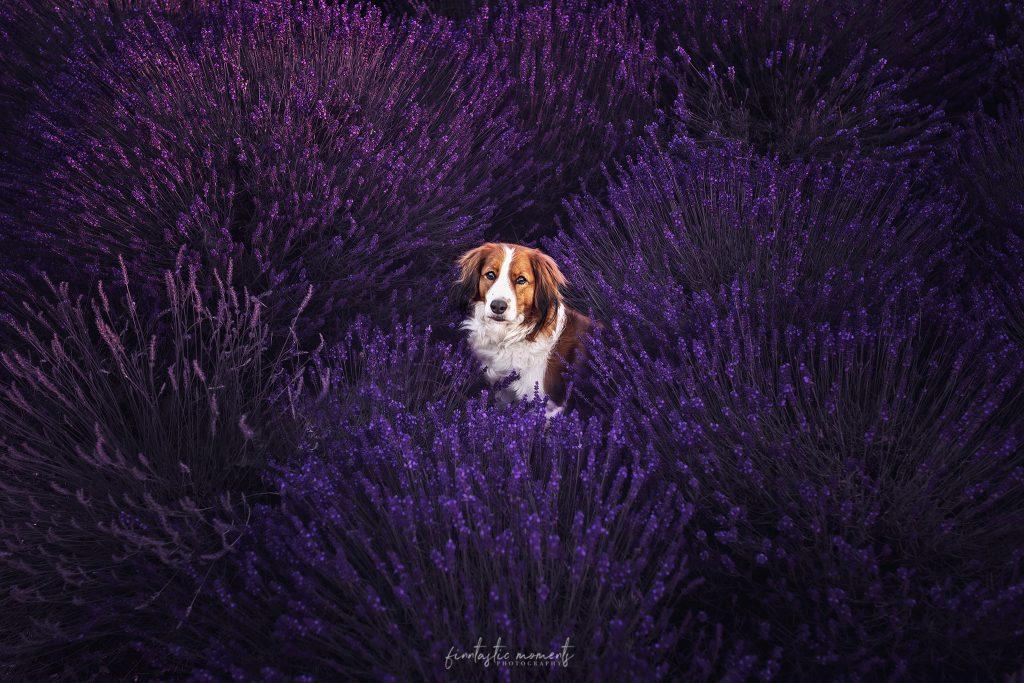 Rasse Kooikerhondje im Lavendelfeld