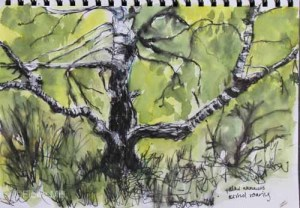 Silver birch, Highgate Common, Staffordshire, A4, May 2015; ink & watercolour